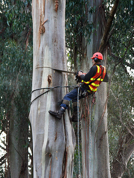 An arborist felling a eucalyptus tree with a chainsaw in a public park at Kallista, Victoria, Australia (Photo by jjron, 9 July, 2008)
