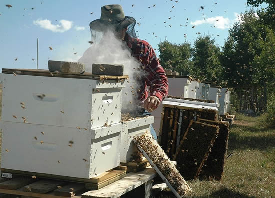 Apiculteur enfumant une ruche. Beekeeper inspecting Langstroth bee hives in Alberta, Canada, photo by Migco, 2006