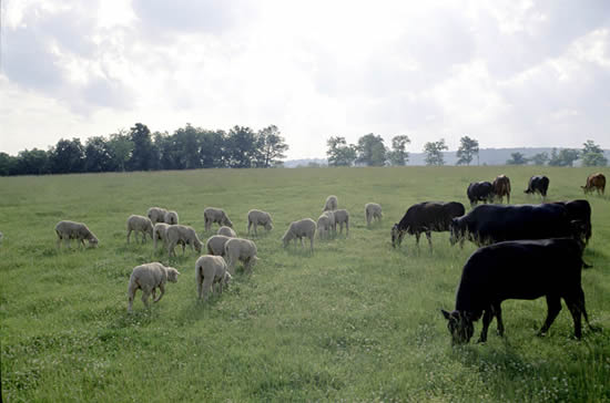 Vaches et moutons en pâture. ''Ovis aries'' in field with cattle