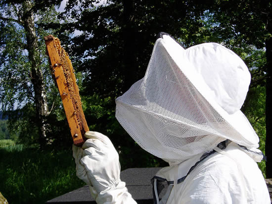 Apiculteur inspectant un rayon de miel. (Beekeeping in Lund, SWEDEN, photo by Mats Hagwall)
