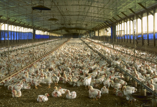 Élevage intensif de poulets en Floride. A commercial meat chicken production house in Florida, USA
